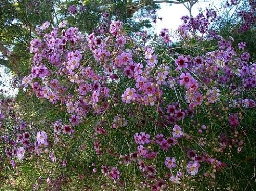Chamelaucium uncinatum: características, habitat, cuidados 4