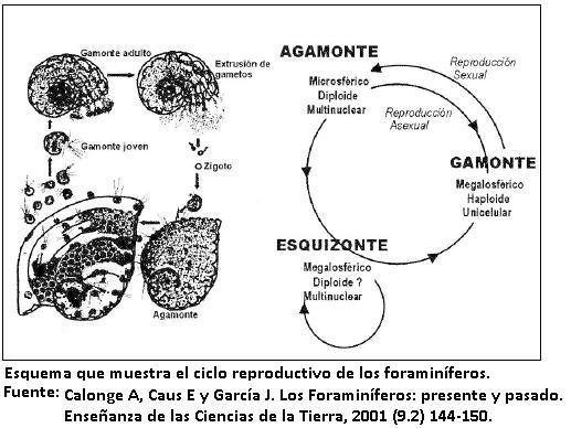 Foraminifera: características, classificação, ciclo de vida 2