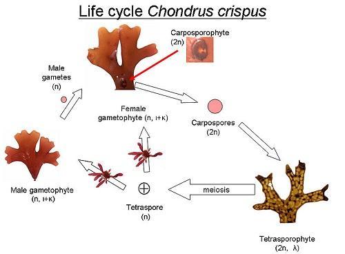 Algas vermelhas: características, taxonomia, reprodução, nutrição 2