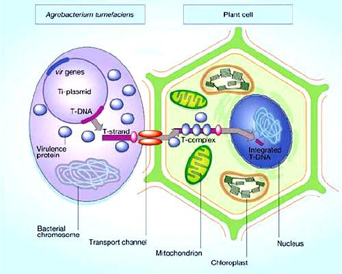 Conjugação bacteriana: processo, estrutura e fatores 2