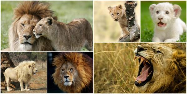 Leão: características, habitat, reprodução, comida 1