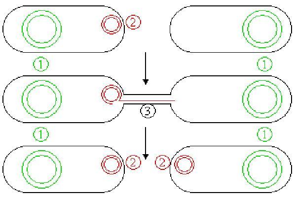 Conjugação bacteriana: processo, estrutura e fatores 1