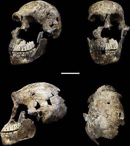 Homo Naledi: descobertas, características, crânio 5