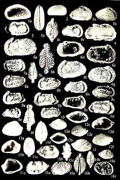 Ostrácodos: características, habitat, classificação, alimentação 3