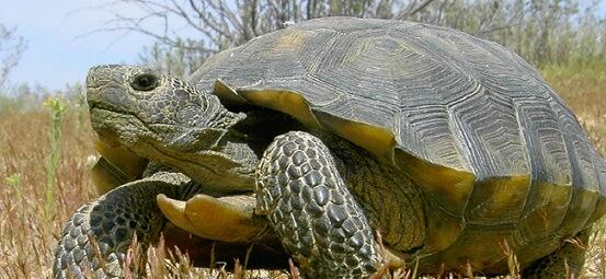 Tartaruga do Deserto: características, habitat, reprodução 6