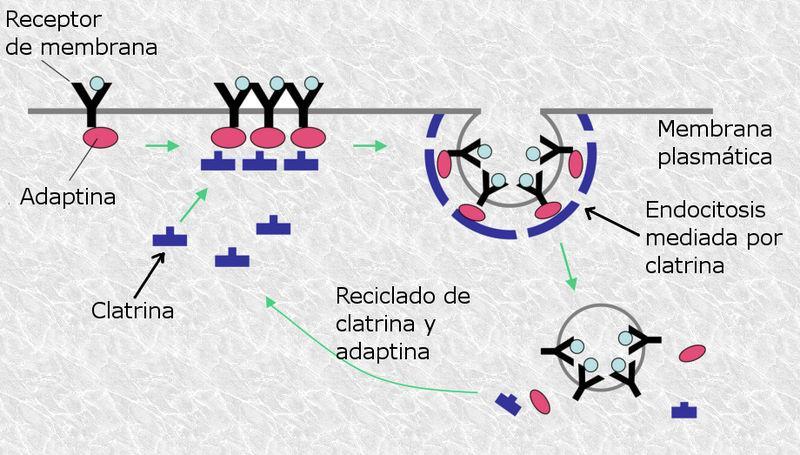 Endocitose mediada por receptor: processo e funções 1