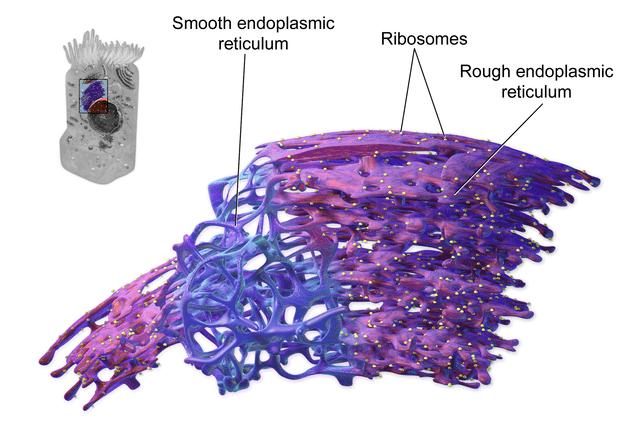 Retículo endoplasmático: características, estrutura e funções 1
