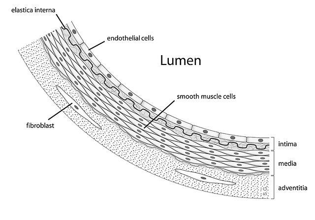 Células endoteliais: características, estrutura, tipos, funções 1