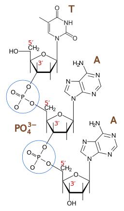Ligação fosfodiéster: como é formada, função e exemplos 1