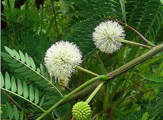 Huanacaxtle: características, taxonomia, habitat, usos 4