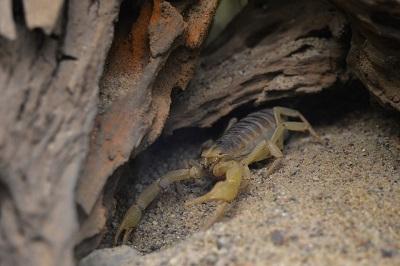 Escorpiões: características, habitat, reprodução e alimentação 4