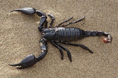 Escorpiões: características, habitat, reprodução e alimentação 1