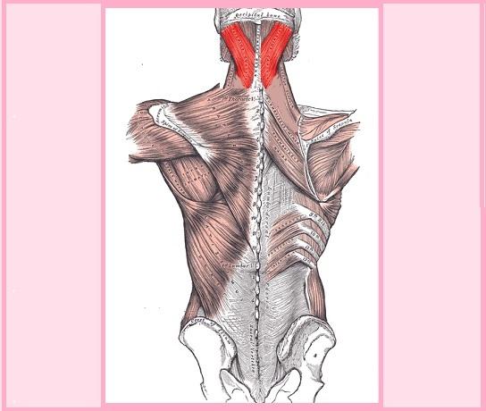 Músculo esplênico: origem, funções, síndromes, distúrbios 1