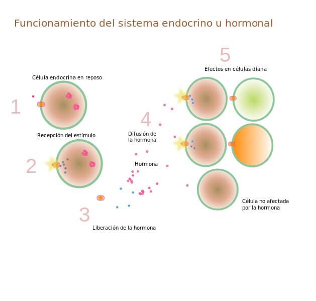 Células alvo: características e exemplo 1