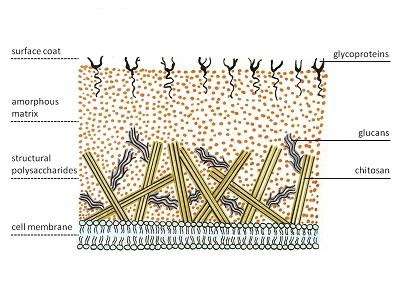 Células fúngicas: características, organelas e funções 2