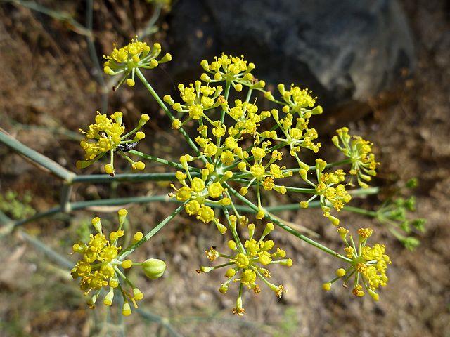 Erva-doce: características, habitat, propriedades, cultivo 2