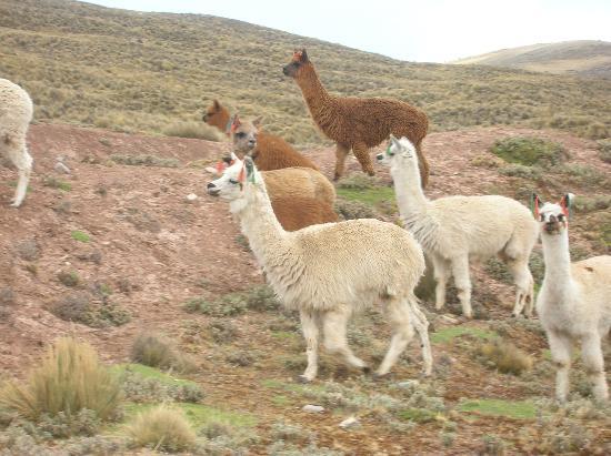 Fauna de Puno: espécies mais representativas 1