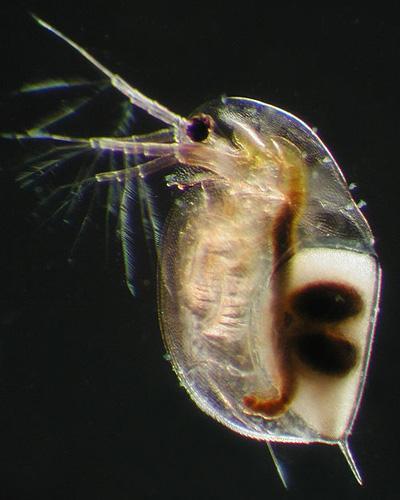Branchiopoda: características, reprodução, alimentação 3
