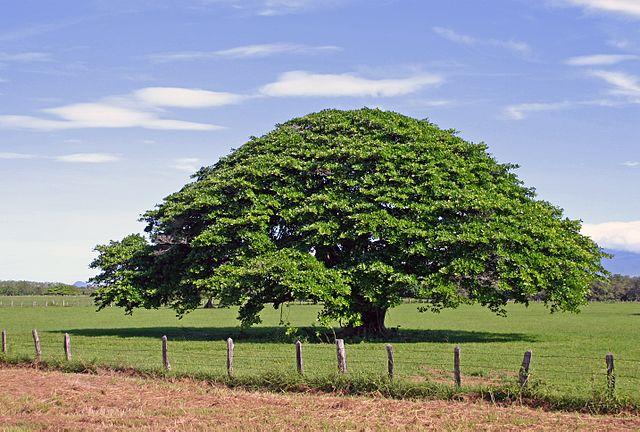 Huanacaxtle: características, taxonomia, habitat, usos 1
