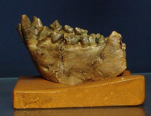 Dryopithecus: descoberta, características, crânio, alimentação 1