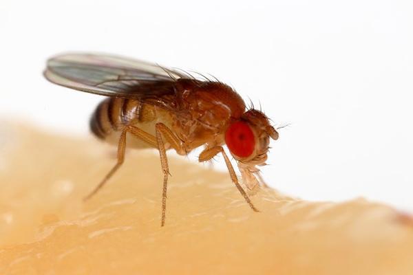 Drosophila melanogaster: características, genética, ciclo de vida 1