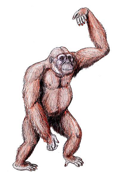 Dryopithecus: descoberta, características, crânio, alimentação 2