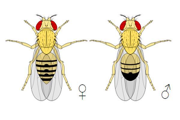 Drosophila melanogaster: características, genética, ciclo de vida 2