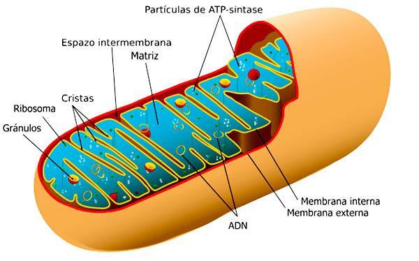 Organelas celulares em células animais e vegetais: características, funções 9