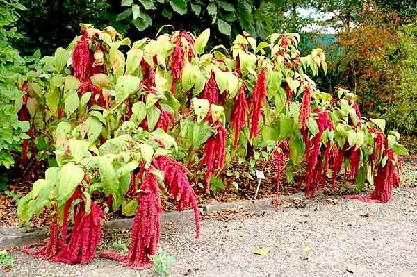 Amaranthus: características, taxonomia, espécies, usos 1