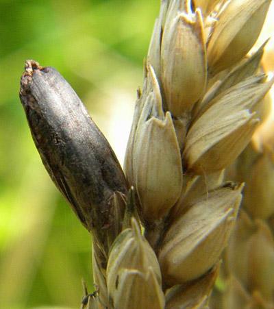 Claviceps purpurea: características, ciclo de vida, habitat, doenças 1