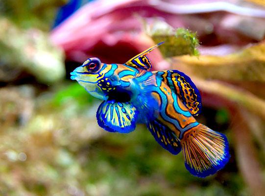 Peixe mandarim: características, habitat, alimentação, reprodução 1