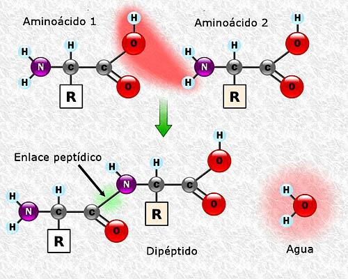 Estrutura proteica primária: características 2