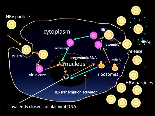 Hepadnavírus: características, morfologia, tratamento 2