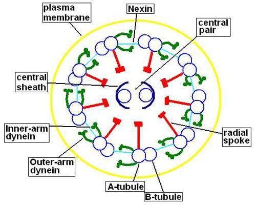 Axonema: características e composição 2