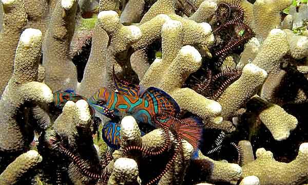 Peixe mandarim: características, habitat, alimentação, reprodução 2