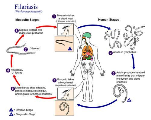 Metazoa: características, tipos, habitat e doenças 4