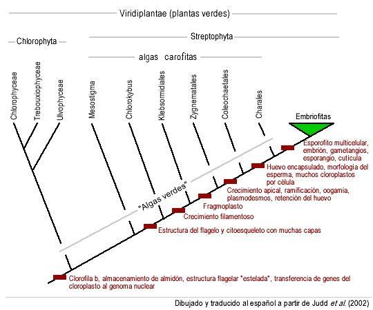 Algas verdes: características, habitat, tipos e propriedades 3