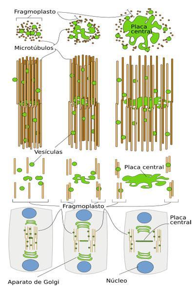 Fragmoplastos: características, funções, composição 2