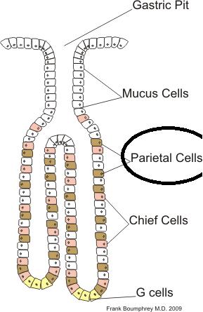 Células parietais: características, histologia, funções, doenças 2