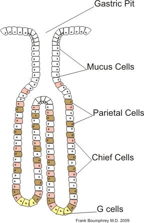 Glândulas gástricas: características, funções, histologia 1