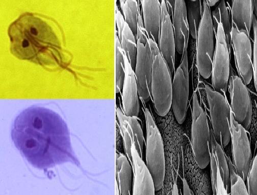 Giardia lamblia: características, morfologia, ciclo biológico 1