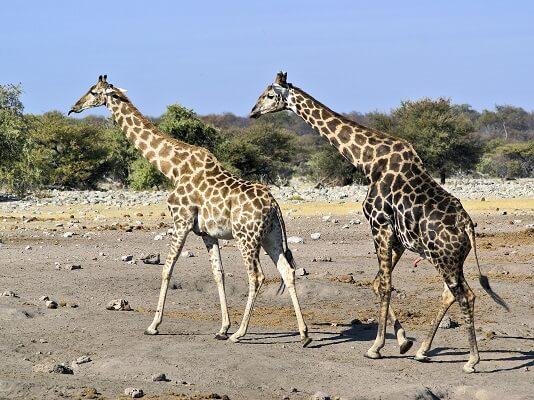 Girafa: características, habitat, reprodução, alimentação 1