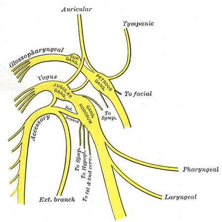 Nervos cranianos: origem real e aparente, funções, anatomia 9