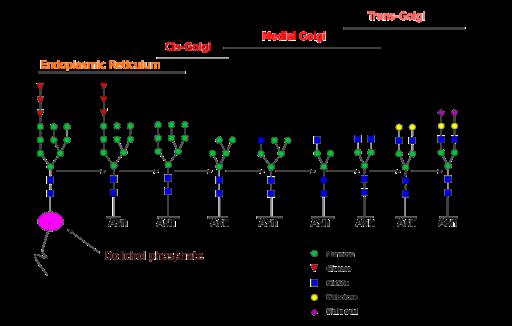 Glicosilação de proteínas: tipos, processos e funções 2