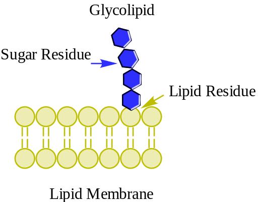 Glicolípidos: classificação, estrutura e funções 1