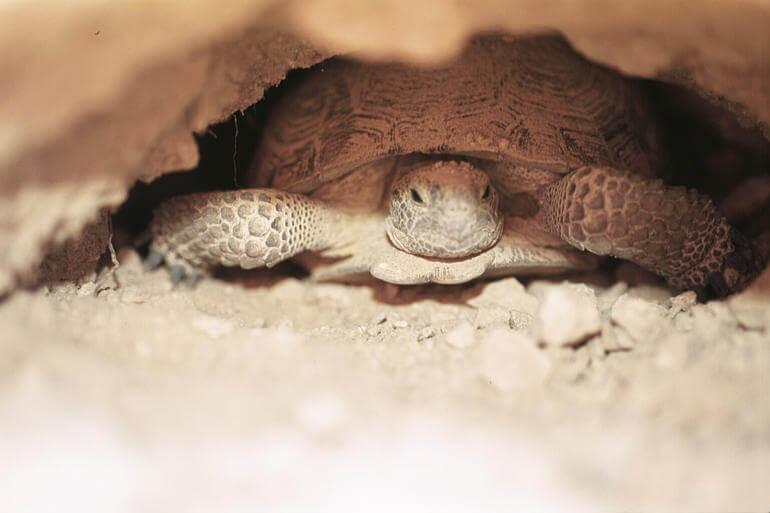 Tartaruga do Deserto: características, habitat, reprodução 4