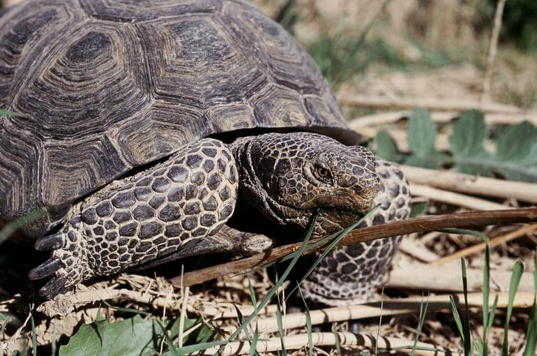 Tartaruga do Deserto: características, habitat, reprodução 7