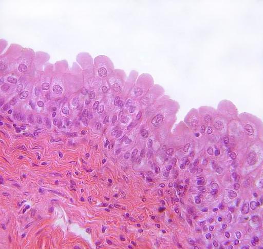 Urotélio: características, histologia e funções 1