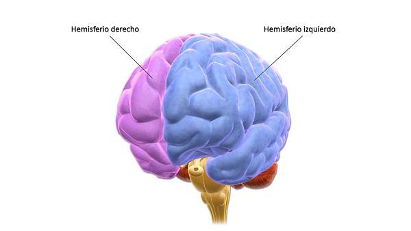 Hemisfério cerebral esquerdo: funções, características 2