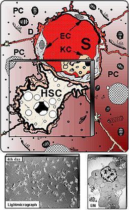 Células estreladas ou Ito: características, formação, partes 2